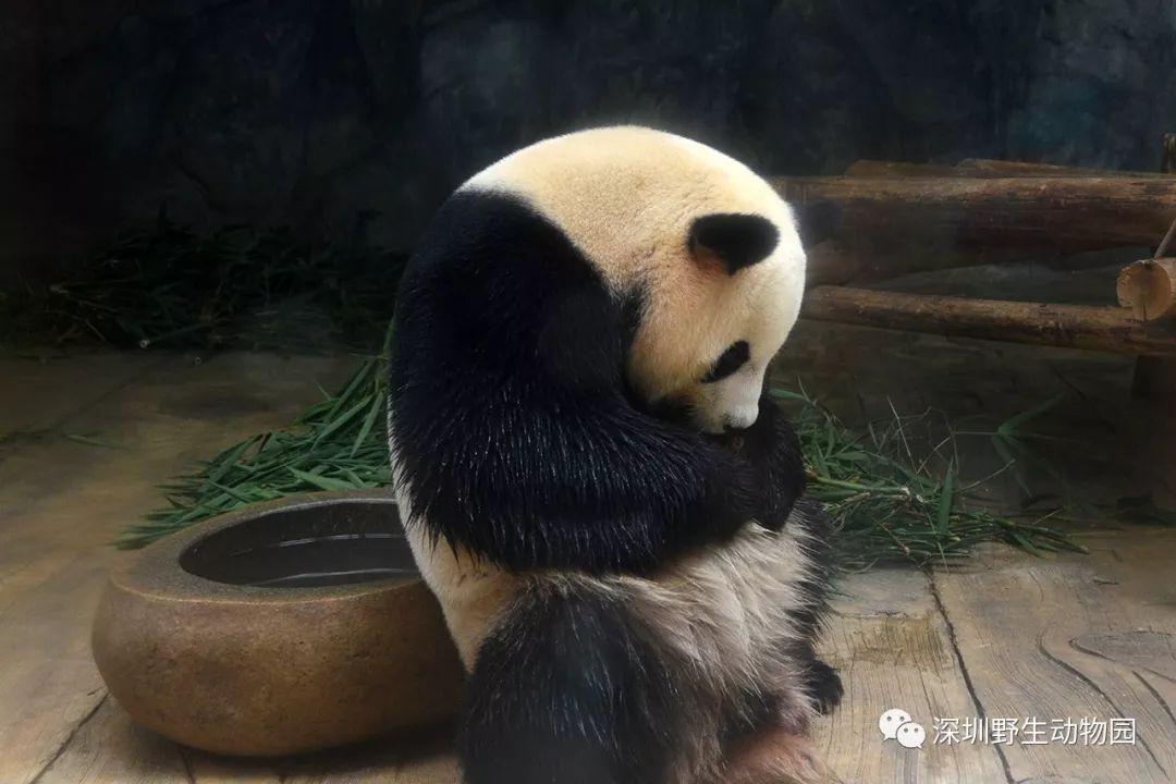 地表最萌·大熊猫