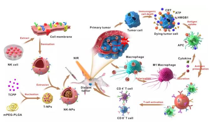 深圳科研团队研发出肿瘤免疫新疗法 细胞膜可伪装成纳米颗粒