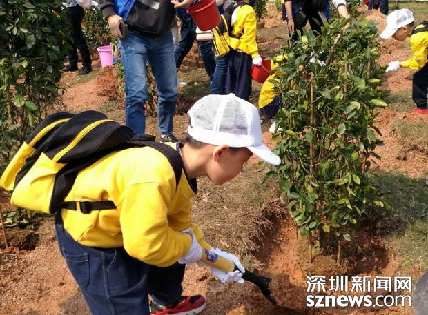 这项回收工作仍在进行中……深圳113万盆年花年桔已找到新去处