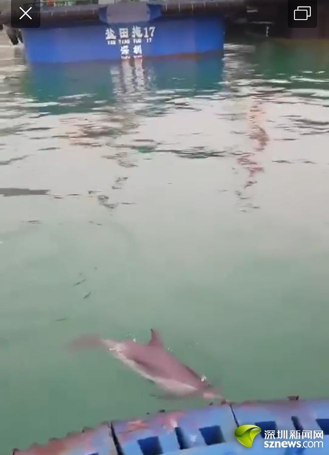 海豚再次现身盐田海域被拍 这次直接游到岸边嬉