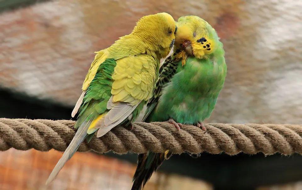 """如果你养鸟后忽然头晕想吐……""""鹦鹉热""""听过吗?"""