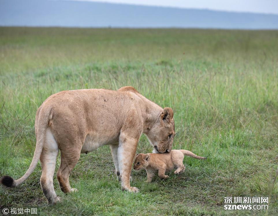 英国野生动物摄影师paul goldstein在肯尼亚的马赛马拉拍到了一头小