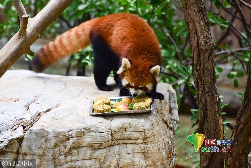 """2016年09月15日,在山东烟台动物园,一只小熊猫在吃特制的水果""""月饼"""""""