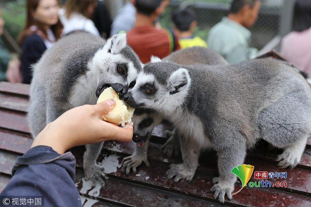 2017年10月4日,重庆永川乐和乐都的动物饲养员给环尾狐猴喂食月饼.