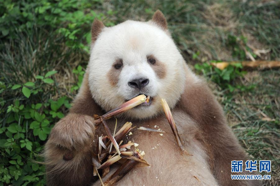 9月7日,大熊猫七仔在陕西省珍稀野生动物抢救饲养研究中心内吃竹笋。   初秋午后的温煦阳光里,七仔平躺在草地上,咔呲咔呲,抓着鲜嫩的竹笋大快朵颐。这只是9岁的大熊猫七仔日常生活的一个片段。圆头圆脑的七仔是个正值青春的健壮小伙子。它属于中国国宝大熊猫中一个更为珍稀、古老的种类秦岭亚种。   七仔自身更独特的是,不同于普通大熊猫的黑白相间,它本应为黑色的皮毛部分是棕色的,看上去就像突然没墨了。陕西省大熊猫繁育中心兽医院院长马清义说,有科学记载的几次发现棕色大熊猫,都在秦岭范围内。因为极