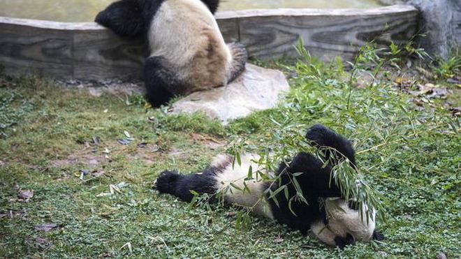 昆明大熊猫:多吃少动 美美过冬