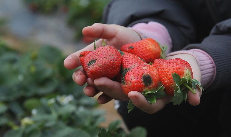 郑州:受大雪影响大批草莓烂在果园 每天倒掉数百斤