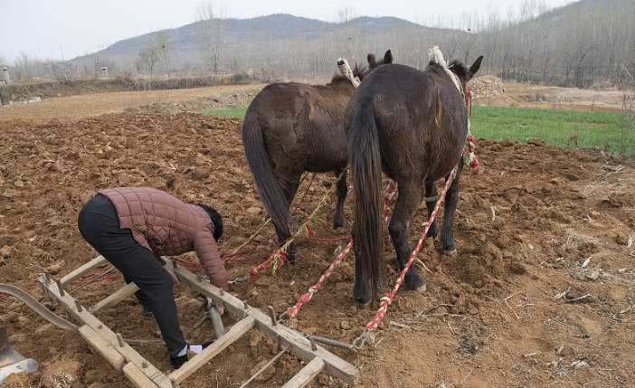 实拍山区畜生耕地,屯子老人存款买3头骡子,日赚千元