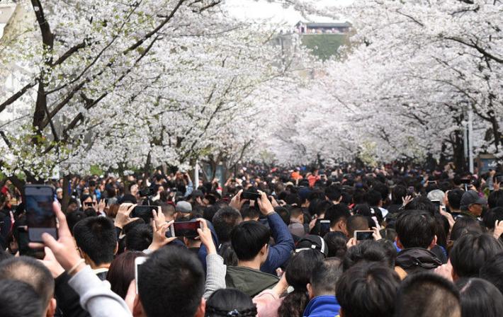 樱花盛开时 赏樱大军挤爆南京鸡鸣寺