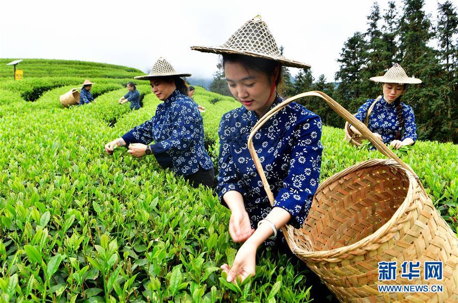 (社会)(5)武夷山:生态茶园祭茶喊山