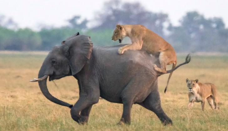 小象遭狮子猎食 象群赶到霸气护崽