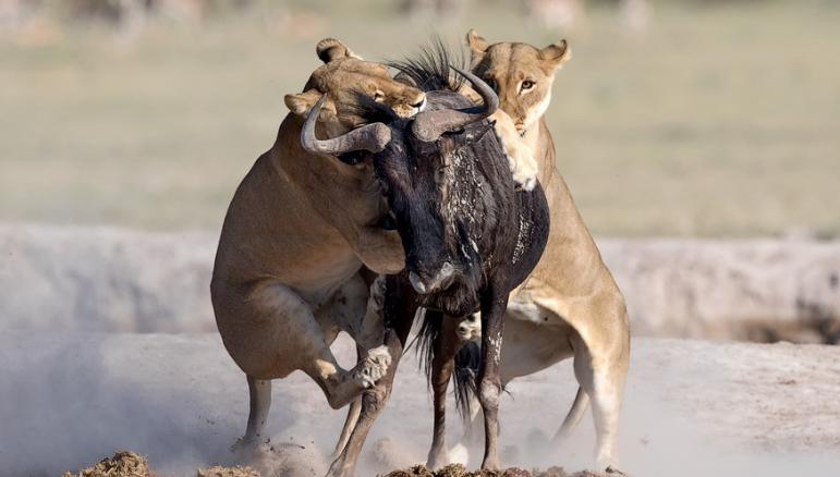 母狮凶残猎食角马 上演左右夹击