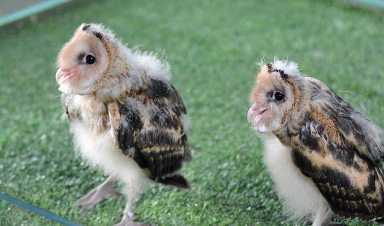 走进广州长隆鸟类繁育中心 探秘猴面鹰孵化全过程