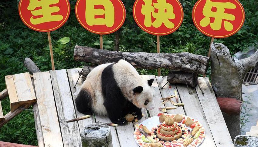 世界最年长大熊猫迎来37岁生日 相当于人类的百岁以上