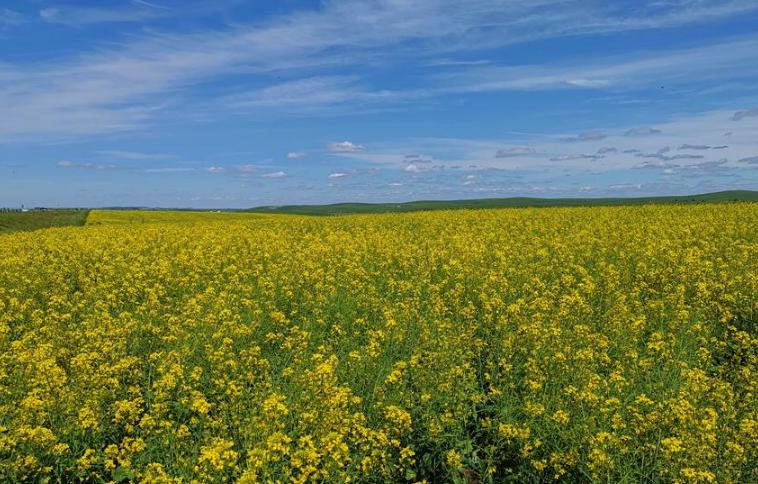 夏季呼倫貝爾草原美如畫