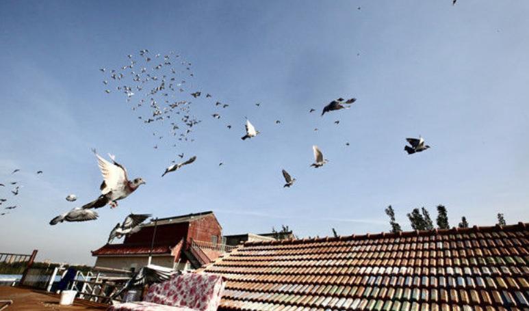 国庆鸽子练成记 实拍信鸽日常生活和训练