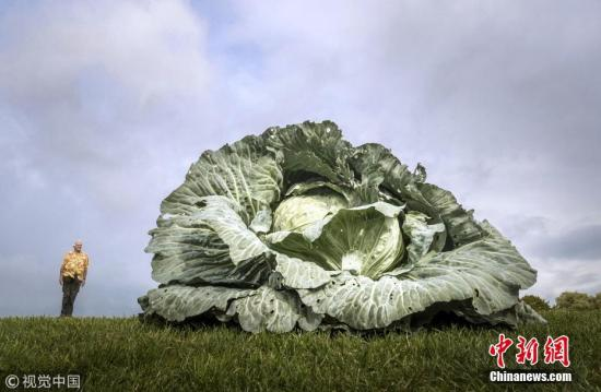 一个正常身高的男子与巨型卷心菜的对比。图片来源:视觉中国