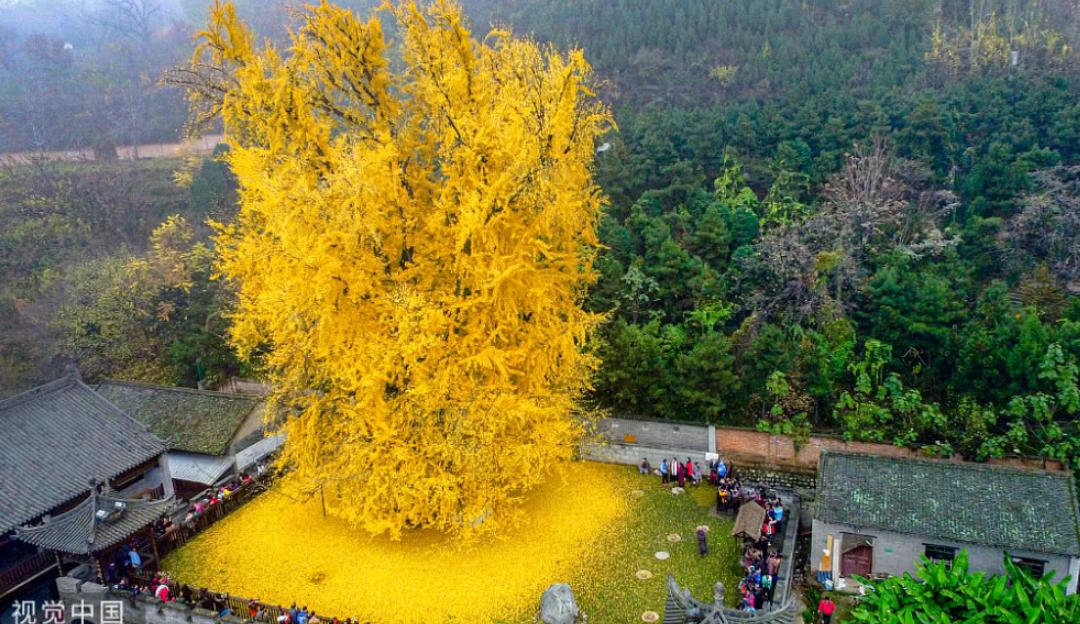 李世民种下的银杏,千年后成为网红景点令老外惊叹!