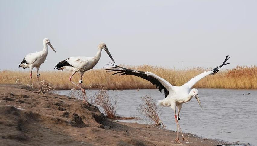 3只国家一级保护动物东方白鹳成功放归