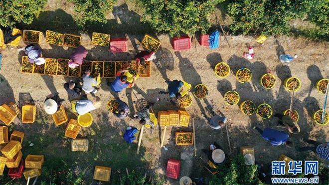 可爱的乡村——广西鹿寨县橘橙丰收