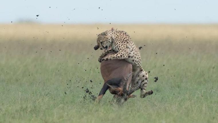 肯尼亚马赛马拉上演生死时速!猎豹跃上羚羊背美餐一顿