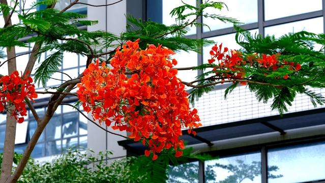 凤凰花开:叶如飞凰之羽,花若丹凤之冠