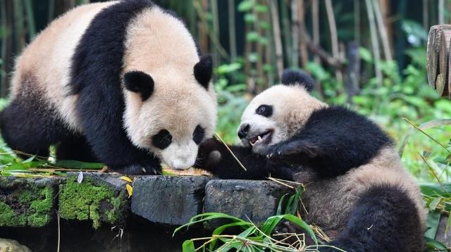 """""""嘿!你怎么能抢我的竹子!"""""""