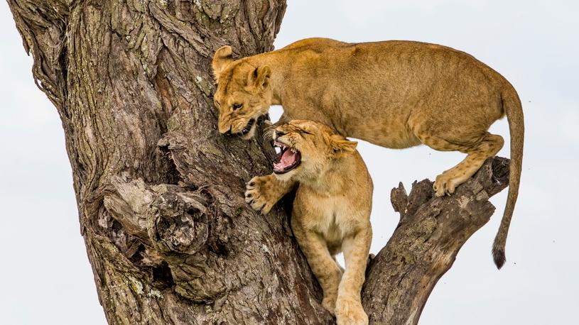 摄影师抓拍狮子上树画面 为争夺位置愤怒咆哮互相攻击