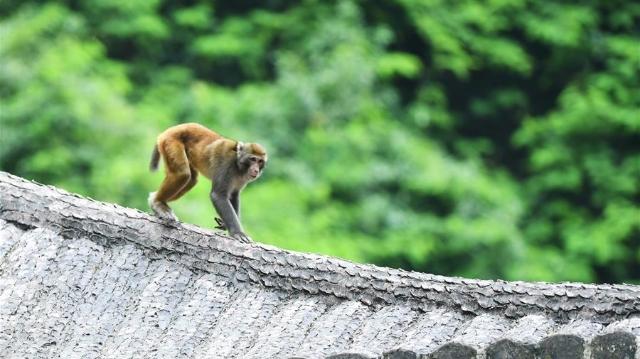 重庆渝北:生态环境改善 野生猕猴聚集