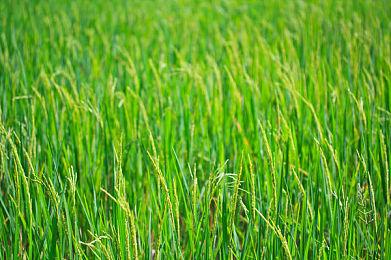 我国培育出既高产又具高抗病性的水稻新品系
