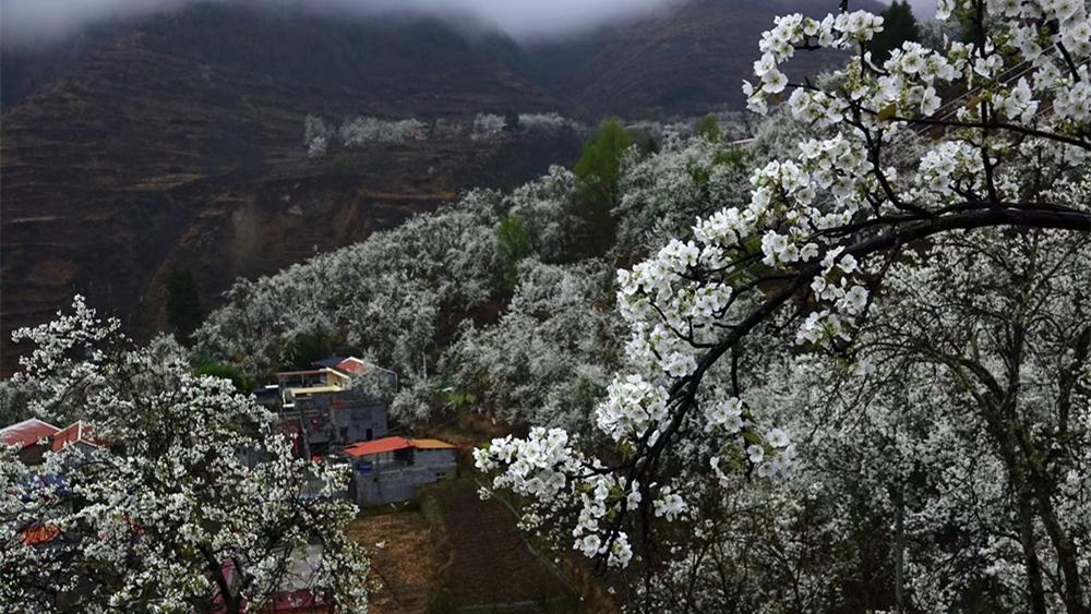 奇观天下|甲居藏寨——梨花盛开的村庄