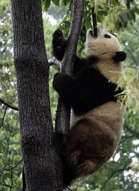 """打滚、 撒娇、""""说情话"""" 这里的大熊猫萌翻了!"""