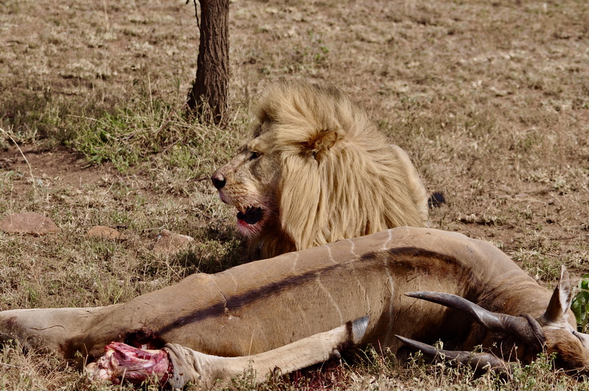 奇观天下|胆小勿进!非洲草原上罕见的雄狮大餐羚羊